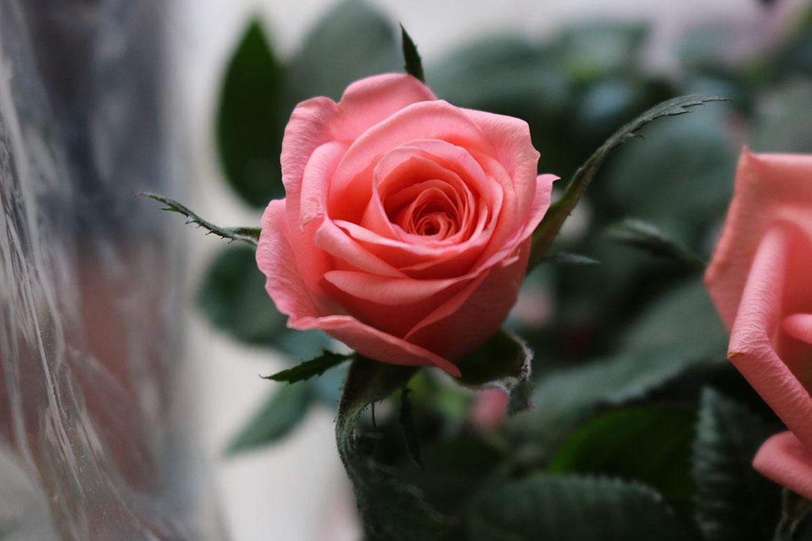 Roses at Capalaba Produce
